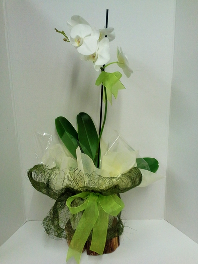 Phalaenopsis Gift wrapped Orchid