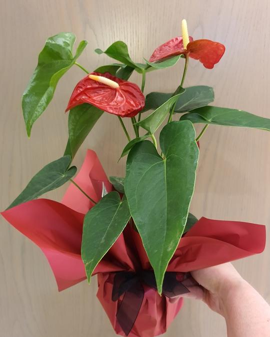 Anthirum Plants