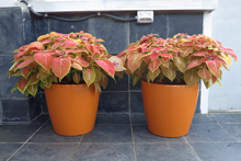 Begonia House Classico planters