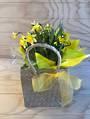 Tete a Tete mini daffodil plant