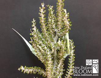 Astelia cotton green berry