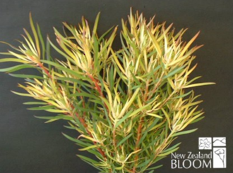 Leucadendron Brooks Red
