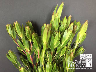Leucadendron Buttercup multi