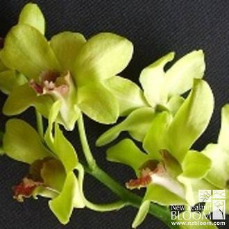 Dendrobium Emerald Green