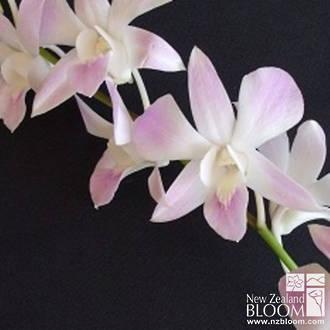 Dendrobium Julia