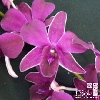 Dendrobium Red Ruby