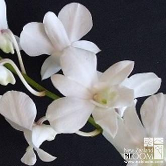 Dendrobium White Angel