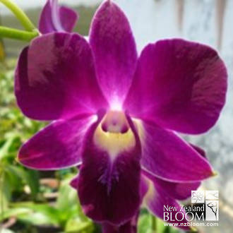 Dendrobium Red Bull