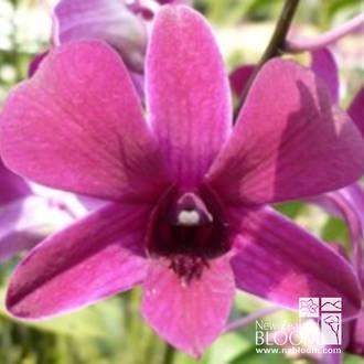 Dendrobium TSK