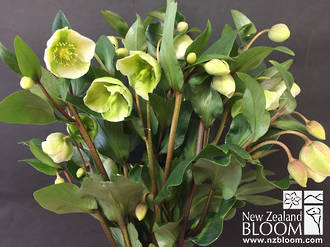 Hellebore Magnificent Bells