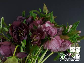 Hellebore Double pink/purple