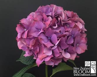 Pink (Purple tones)