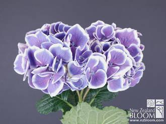 Bicolor Purple Sensation