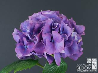 Purple Masja