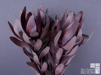Leucadendron Ebony