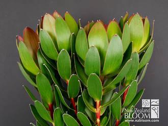 Leucadendron Waterlily