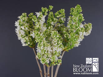 Lilac white
