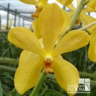 Mok Chitti Yellow