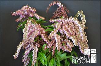 Pieris Pink flowering