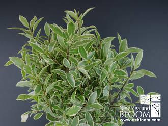 Tenuifolium