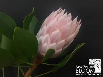 Protea King Pink