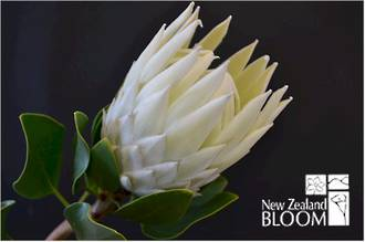 Protea King White