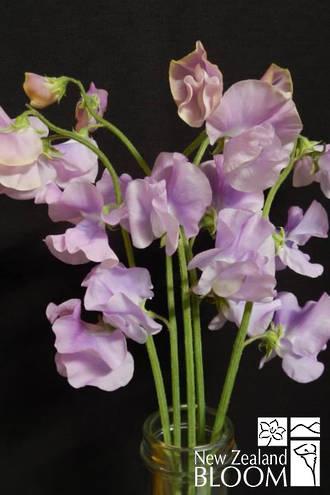 Sweet Pea Musica Lavender
