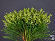 Berzelia Fine Leaf