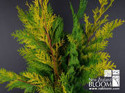 Conifer Gold
