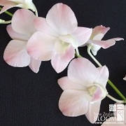 Dendrobium Diana Peach