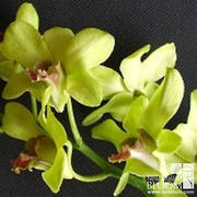 Dendrobium Emerald Green