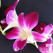 Dendrobium Galaxy (Bombay)