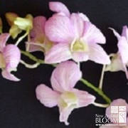 Dendrobium Pink Candy