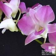 Dendrobium Pinky