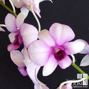 Dendrobium Two Tone