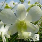 Dendrobium White