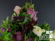 Hellebore Double mix