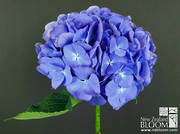Blue (Dark)
