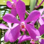 Mok Calypso Pink