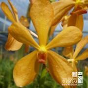Mok Tropical Orange