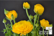 Ranunculus Yellow
