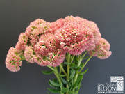 Sedum 'Autumn Joy' pink