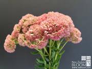 Sedum 'Autumn Joy' pink