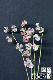 Sweet Pea Antique