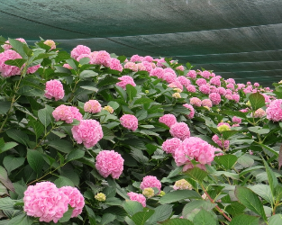 Hydrangea production Natives 1-319