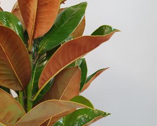 Magnolia-643