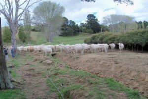 Broadwood_Cows.jpg