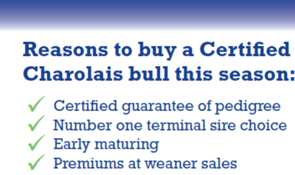 Reasons to buy Charolais no bull-387
