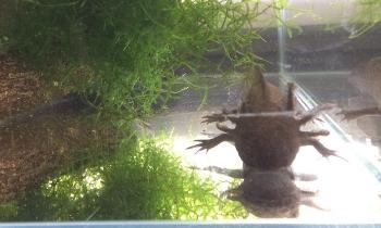 Axolotl-758