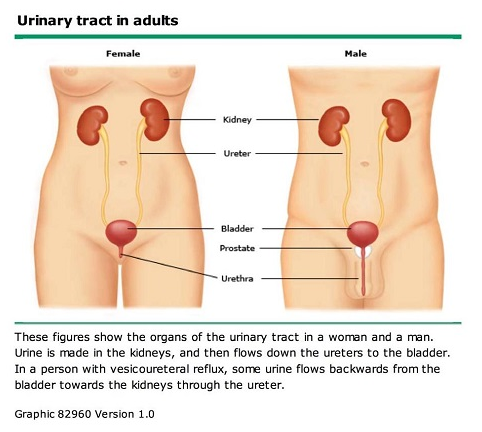 Urinary Tract - Female and Male